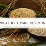 Popular Rice Varieties of India